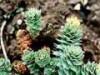 Rastlinné adaptogény (III) - o anabolicky účinných ekdysteroidoch