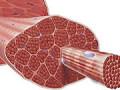 Ako zistiť, aké svalové vlákna sú pre vás dominantné?